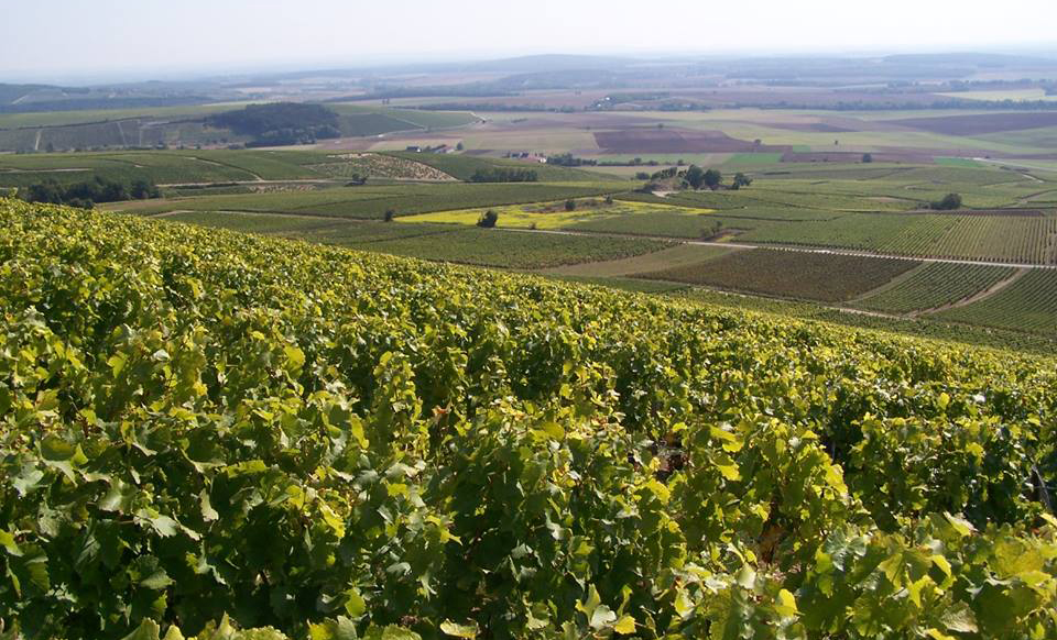 Sancerre_vineyard02