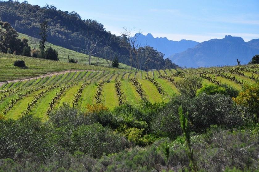 Fynbos_Mooiplaas_vineyard